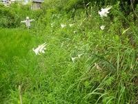 美しい花には・・・外来種タカサゴユリ(シンテッポウユリ)