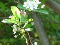 ズミの花が咲く