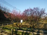 咲いている梅