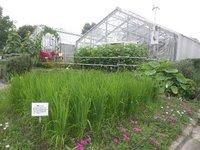 陸稲と水稲