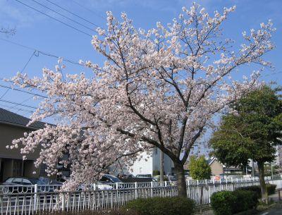 近所の桜 2016/04/02 撮影