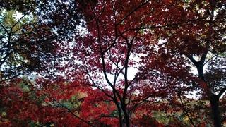 朝の散歩道にて 12月の紅葉