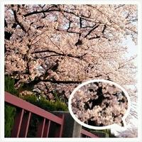桜…コワイ
