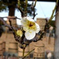 梅の花と墓参り