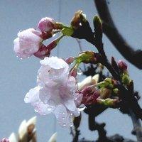 冷たい雨の中 我が家の開花宣言
