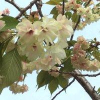 緑色の桜の花 今年も