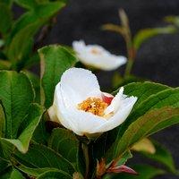 今年も沙羅双樹開花 19年6月16日