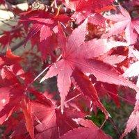 庭の紅葉の終活