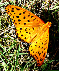 朝の雨も上がって 猛暑日は免れて 昼の蝶の訪問