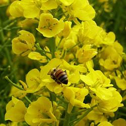 農業センターの梅と菜の花