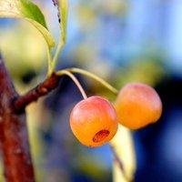 秋空とふしぎな桜の実