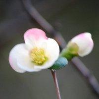 ボケの花 開花